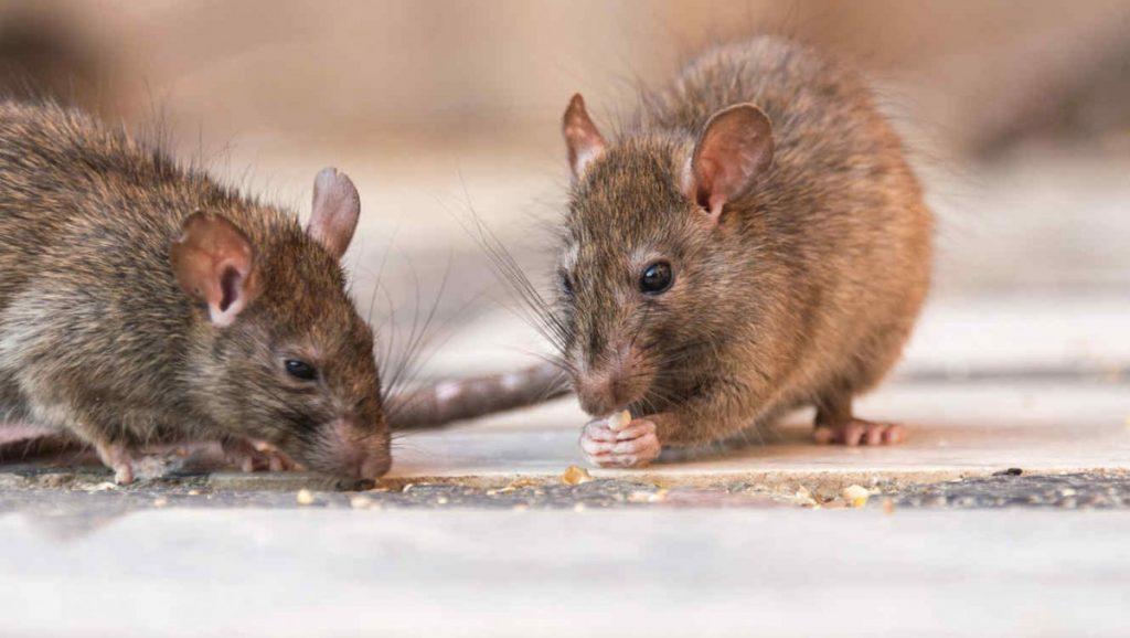 Los roedores son causantes de múltiples enfermedades